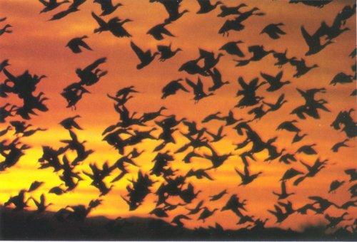 migrate-magnetic-Ducks