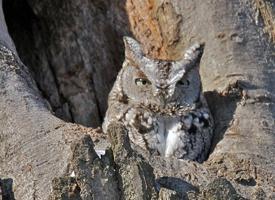 eastern screech-owl - credit Yves Dery
